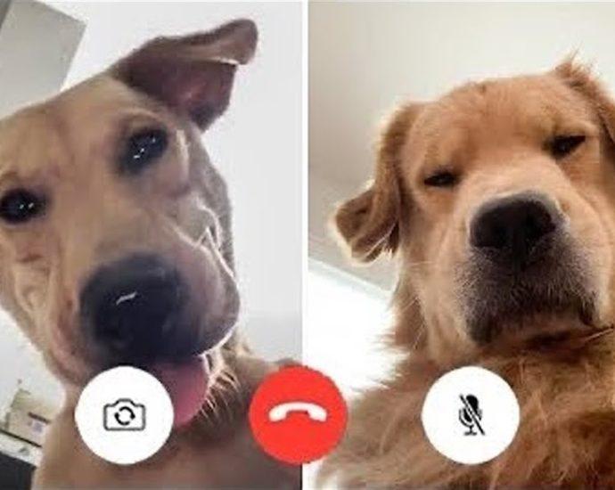 Vidéos de chiens super drôles #16 | Chihuahua TV